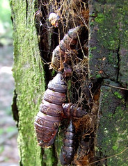 gypsy moth cocoons