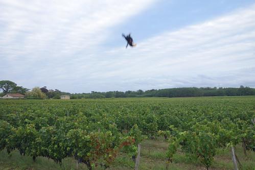 Les vignes sont prêtes à être vendangées !