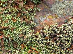 Raoulia australis and Leptinella squalida 'Pla...