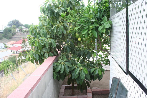 Avocado tree and orange tree