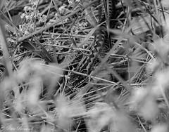 Common European viper (Vipera berus)