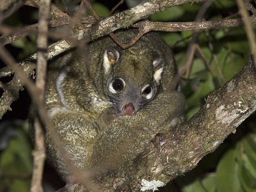"""Green Ring-tailed Possum - Mount Lewis, Queensland • <a style=""""font-size:0.8em;"""" href=""""http://www.flickr.com/photos/95790921@N07/31356968800/"""" target=""""_blank"""">View on Flickr</a>"""