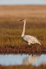Tundra Swan | mindre sångsvan | Cygnus columbianus