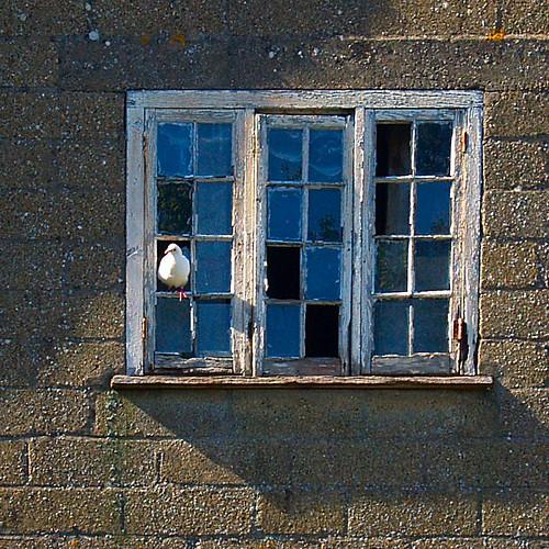 Si a tu ventana llega una Paloma, Tratala con cariño que es mi persona.