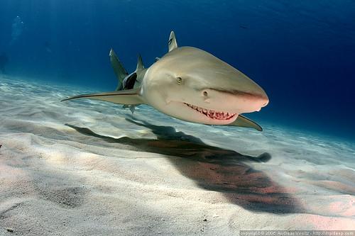 Лимун-ајкула (аутор Andi Voeltz)