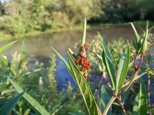 Milkweed Bug Larvae on Swamp Milkweed