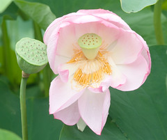 "IMG_0331: Lotus • <a style=""font-size:0.8em;"" href=""http://www.flickr.com/photos/54494252@N00/198789256/"" target=""_blank"">View on Flickr</a>"