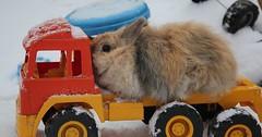 """Das Kaninchen. Die Kaninchen. Ein Kaninchen sitzt auf einem Spielzeuglastwagen. • <a style=""""font-size:0.8em;"""" href=""""http://www.flickr.com/photos/42554185@N00/31001287223/"""" target=""""_blank"""">View on Flickr</a>"""
