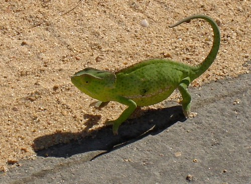 Chameleon by rudivs, on Flickr