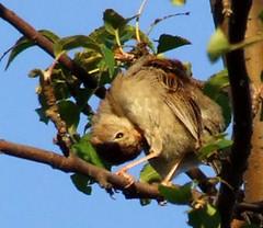 field sparrow grooming 3