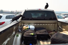 Some tourist decided to throw a feast for the raven. #carcamping