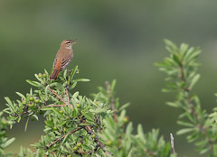 Rufous-tailed Scrub Robin | trädnäktergal | Cercotrichas galactotes