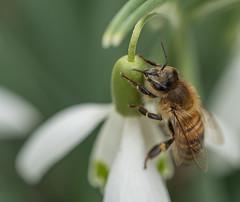 Honingbij op sneeuwklokje