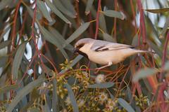 Desert Sparrow | ökensparv | Passer simplex