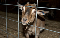 """CRW_2000: Captive Goat • <a style=""""font-size:0.8em;"""" href=""""http://www.flickr.com/photos/54494252@N00/10242313/"""" target=""""_blank"""">View on Flickr</a>"""