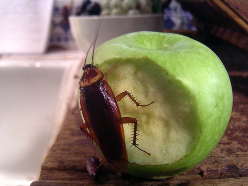 Cockroach on an apple by Neil T, on Flickr