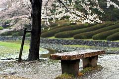 Cherry blossom in the rain