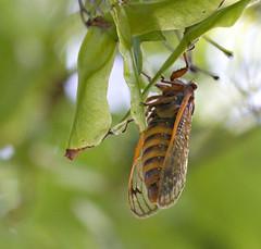 "CRW_2578: Cicada on Tree Leaf • <a style=""font-size:0.8em;"" href=""http://www.flickr.com/photos/54494252@N00/9986517/"" target=""_blank"">View on Flickr</a>"
