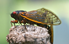 "CRW_2586: Cicada on Wooden Post • <a style=""font-size:0.8em;"" href=""http://www.flickr.com/photos/54494252@N00/9986561/"" target=""_blank"">View on Flickr</a>"