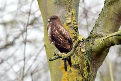 Kingsbury buzzard