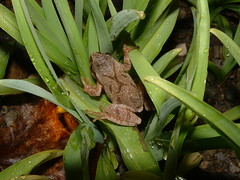 Spring Peeper by Sarah Hatfield