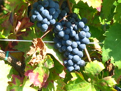 Uva,  Grape