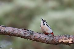Great Spotted Woodpecker | större hackspett | Dendrocopos major