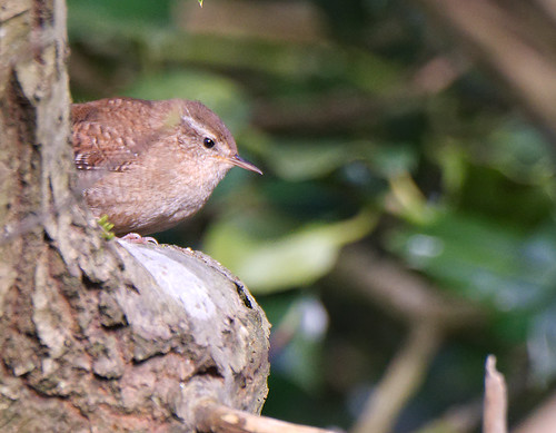"""Wren? • <a style=""""font-size:0.8em;"""" href=""""http://www.flickr.com/photos/12291084@N00/26408001587/"""" target=""""_blank"""">View on Flickr</a>"""