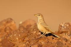 Desert Lark | stenökenlärka | Ammomanes deserti