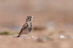 Thick-billed Lark | tjocknäbbad lärka | Ramphocoris clotbey