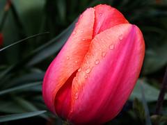 Tulip and rain drops