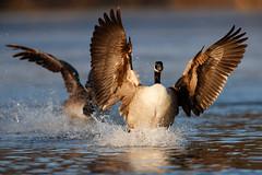 Canada Goose | kanadagås | Branta canadensis