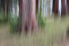 Mountain sequoia