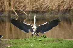 Heron Landing - 2, Regent's Park, London