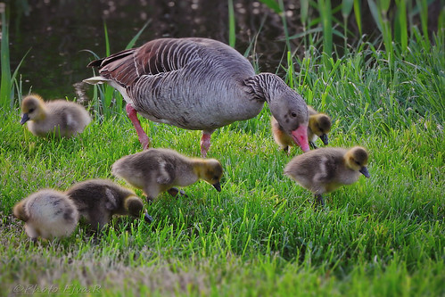 The summer goose family/ A nyári lúd család  (Anser anser)