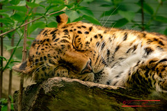 """Amurleopard (Panthera pardus orientalis) • <a style=""""font-size:0.8em;"""" href=""""http://www.flickr.com/photos/25741809@N05/41028143355/"""" target=""""_blank"""">View on Flickr</a>"""