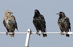 Starlings in conversation