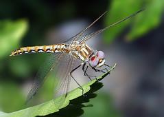 Dragonfly 8692