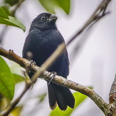 Thick-billed Seed-finch, male
