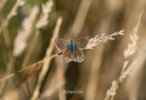 Common Blue ♀