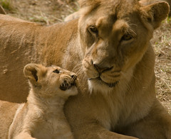 Lioness and cub (D2A_4116)