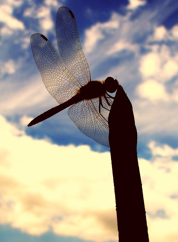 A dragonfly silhouette by tanakawho.
