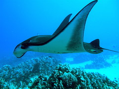 Manta Ray & Cleaner Wrasse