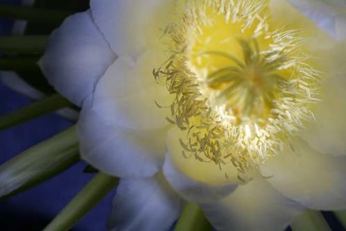 Last Night Blooming Cerreus