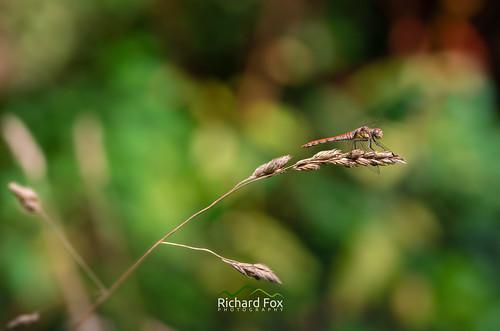 Yellow Winged Darter ♂