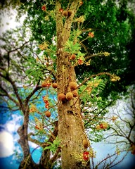 Bintawa Industrial Estate, Kuching, Sarawak https://goo.gl/maps/EkSM2o4DTLv  #travel #holiday #Asian #Malaysia #Sarawak #Kuching #travelMalaysia #holidayMalaysia #旅行 #度假 #亚洲 #马来西亚 #沙拉越 #古晋 #trip #马来西亚旅行 #traveling #马来西亚度假  #tree #flower #树 #fruit #探索馬來西亞