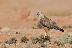 Long-legged Buzzard | örnvråk | Buteo rufinus