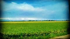45400 Sekinchan, Selangor https://goo.gl/maps/gaSs6pwoMdL2  #travel #holiday #traveling #trip #Asian #Malaysia #旅行 #度假 #亚洲 #马来西亚 #วันหยุด #การเดินทาง #ホリデー #휴일 #여행 #Sekinchan #Selangor #outdoor #田地 #nature #праздник #путешествие #field #kampung #travelMal