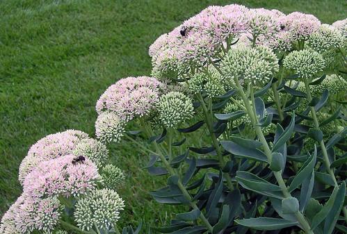 bourdons sur fleurs de sedum