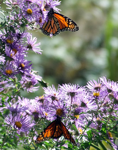 Monarchs on New York aster